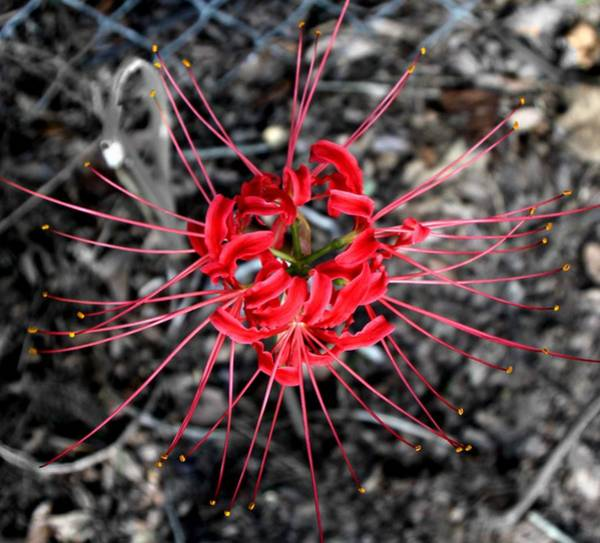 Spider Lily Wall Art - Photograph - Spider Lily by Neil McCarver