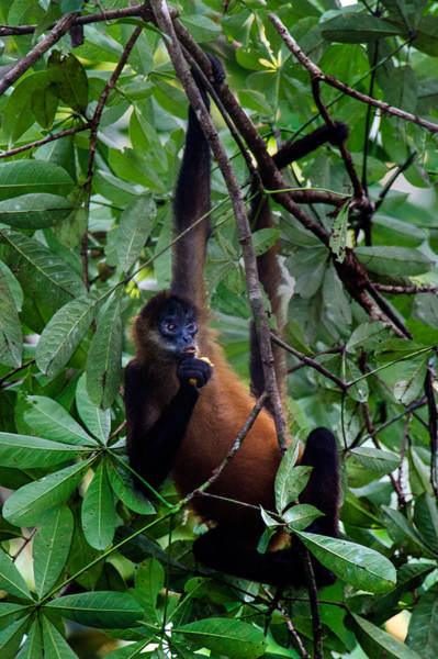 Leaf Monkey Wall Art - Photograph - Spider Monkey Simia Paniscus On A Tree by Panoramic Images