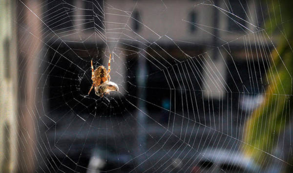 Photograph - Spider With Egg Sac by Bonnie Follett