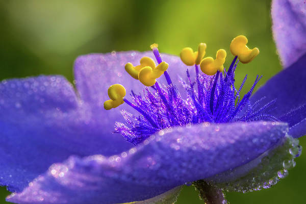 Photograph - Spiderwort Filament Macro by Ron Pate