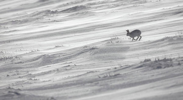 Photograph - Spindrift Hare by Peter Walkden