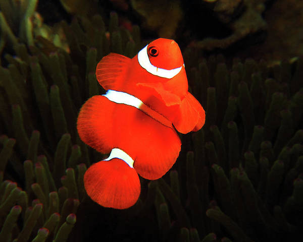 Photograph - Spinecheek Anemonefish, Indonesia 1 by Pauline Walsh Jacobson
