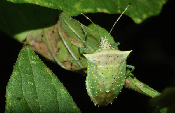 Photograph - Spined Green Stink Bug by Larah McElroy
