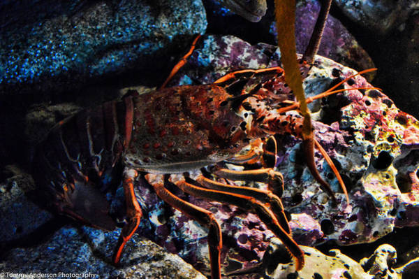 Oct 2013 Photograph - Spiney California Lobster by Tommy Anderson