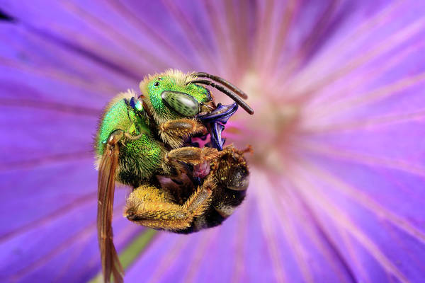 Photograph - Spinning Sweat Bee by Brian Hale