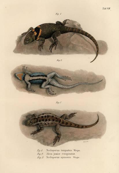 Drawing - Spiny Lizards, Sceloporus by Carl Wilhelm Pohlke