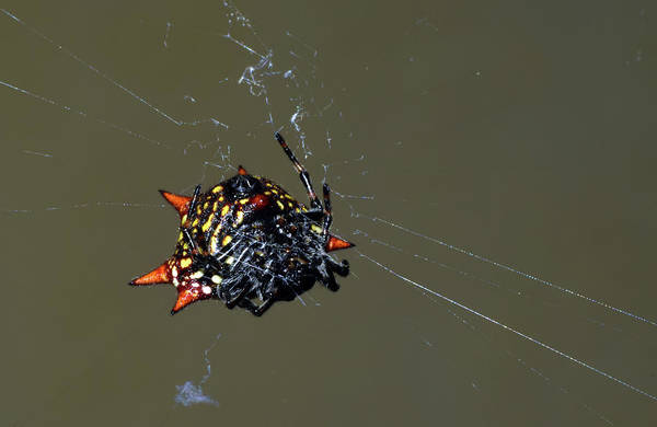 Photograph - Spiny Orb Weaver by Larah McElroy