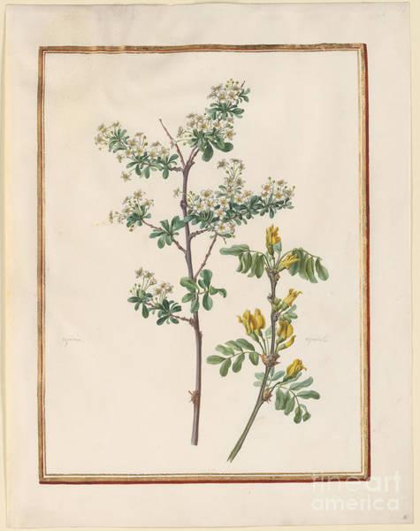 Pistil Painting - Spiraea  Espalatus  by MotionAge Designs