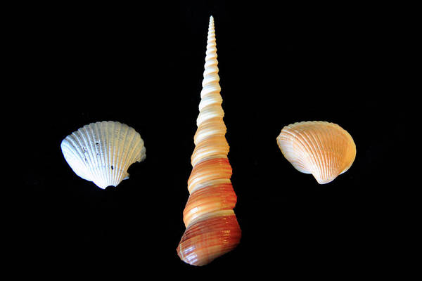Photograph - Spiral Shell On Black Background by Angela Murdock