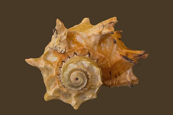Photograph - Spiral Shell Transparency by Richard Goldman