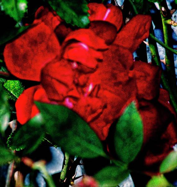 Spirit Of The Rose Art Print