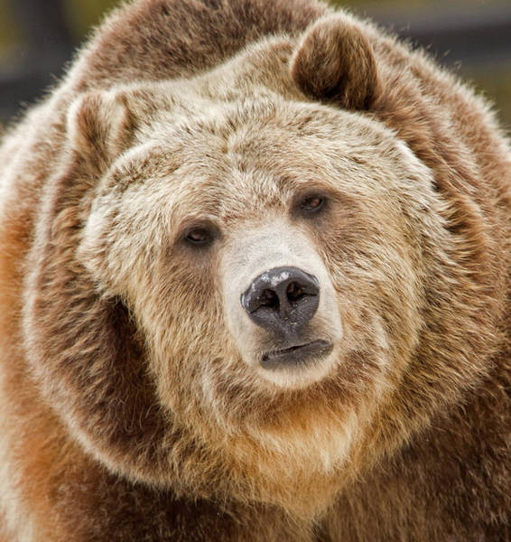 Grizzly Bears Photograph - Spirit by Sandy Sisti