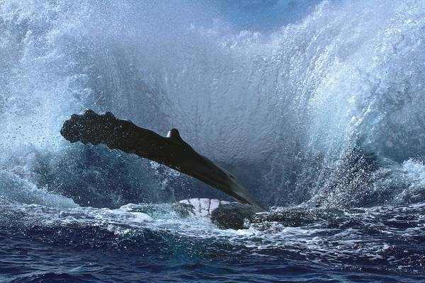 Save The Whales Photograph - Splash After Huge Humpback Breach by Nan Hauser
