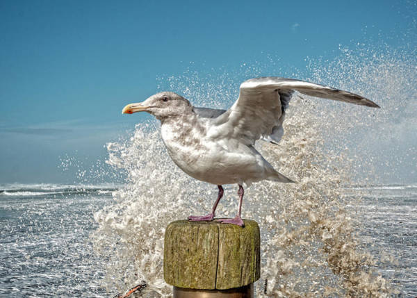 Photograph - Splash Gull by Bill Posner