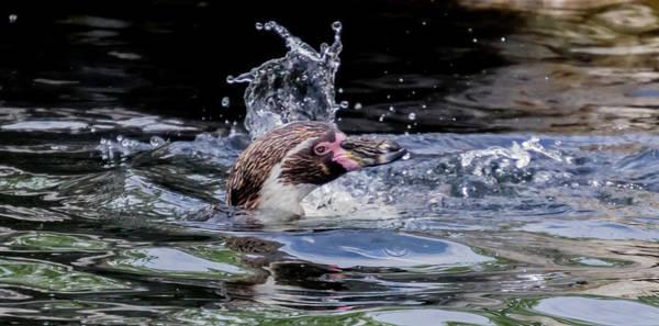 Photograph - Splashing Humboldt Penguin by Scott Lyons