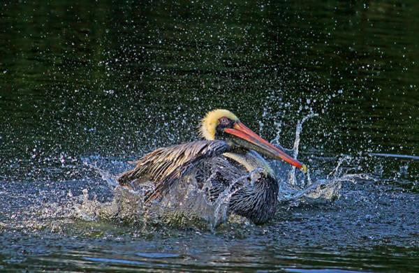 Gular Photograph - Splish Splash by HH Photography of Florida