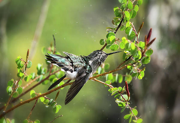 Colibri Photograph - Splish Splash Hummingbird  by Saija Lehtonen