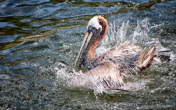 Wall Art - Photograph - Splish Splash Pelican by Debra Forand