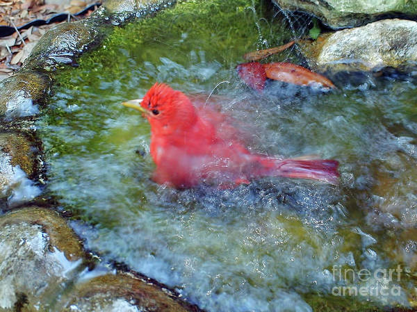 Photograph - Splish Splash Tanager by D Hackett