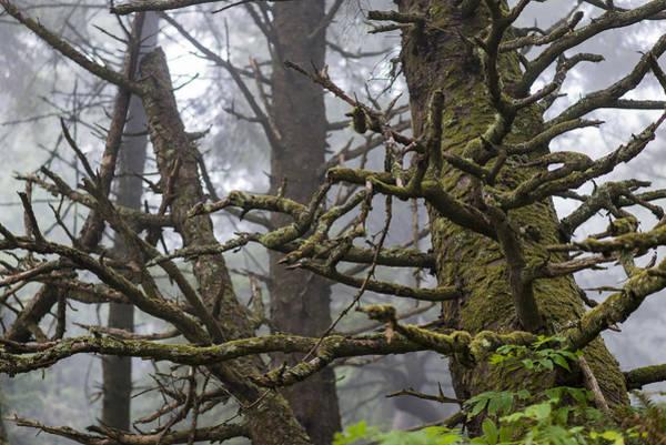 Photograph - Spooky Spruce by Robert Potts