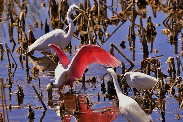 Photograph - Spoonbill by Bill Hosford