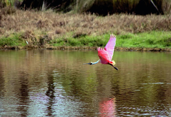 Photograph - Spoonbill In Flight by Karl Ford