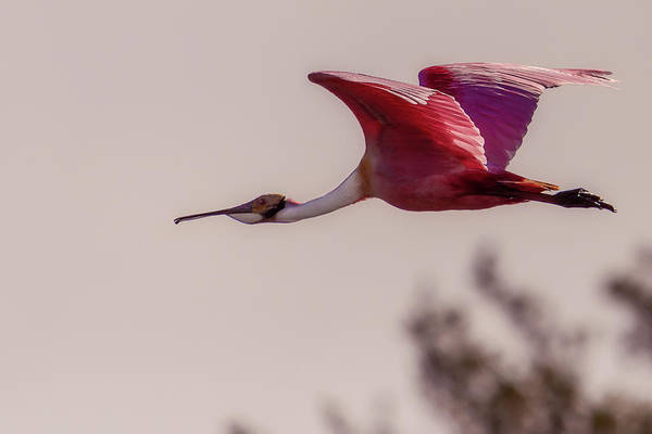 Photograph - Spoonbill by Norman Peay