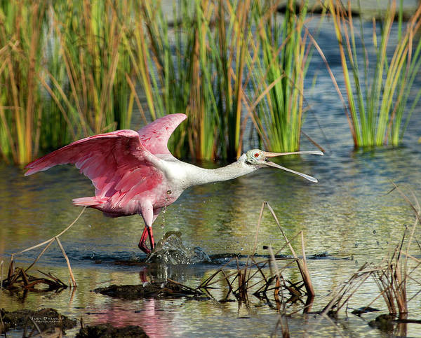 Photograph - Spoonbill Squabble by Judi Dressler