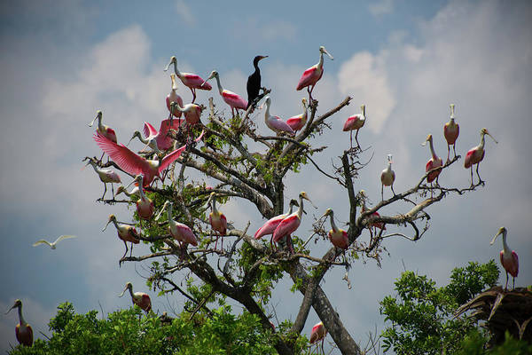Photograph - Spoonbill Tree by Dillon Kalkhurst