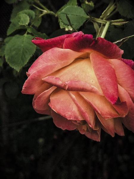 Photograph - Spot Light On A Rose by Cate Franklyn