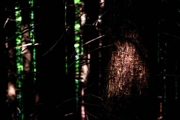 Dense Photograph - Spotlight In The Woods by Pelo Blanco Photo