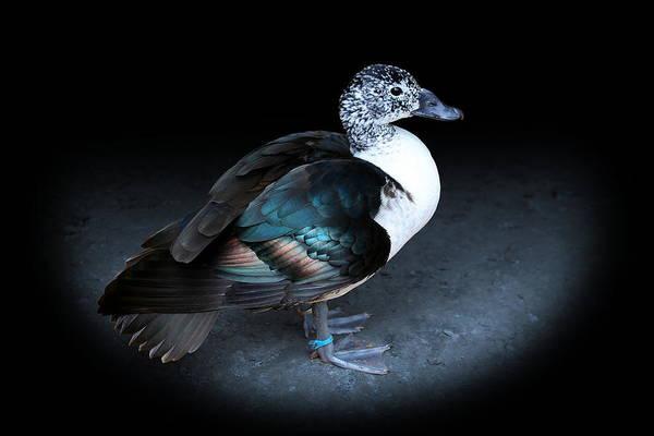 Photograph - Spotlight On A Female Comb Duck by Debi Dalio