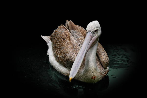 Spotlight On A Pink-backed Pelican Art Print