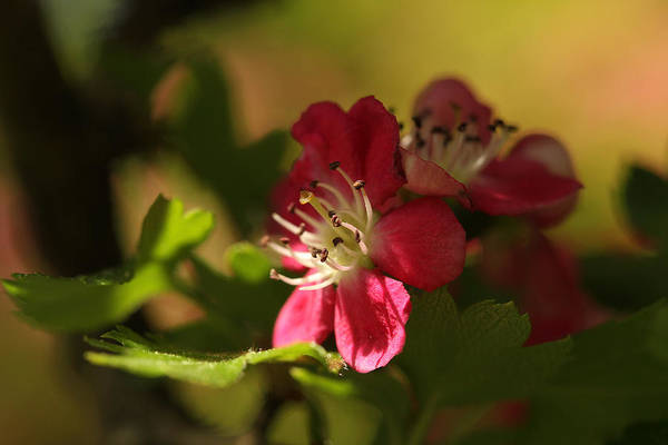 May Day Photograph - Spotlight On Hawthorn by Connie Handscomb