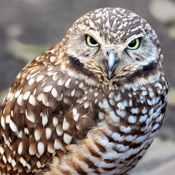 Spots - Burrowing Owl Art Print