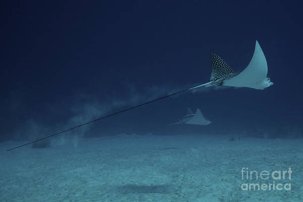 Eagle Ray Photograph - Spotted Eagle Rays Glide Effortlessly by Terry Moore