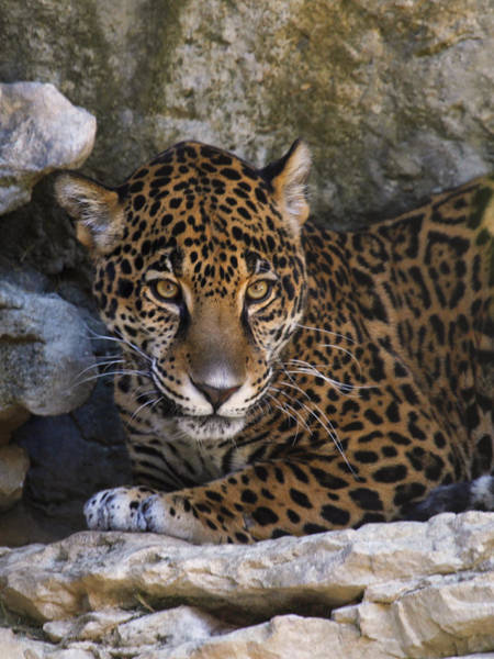 Photograph - Spotted Leopard by Charles McKelroy