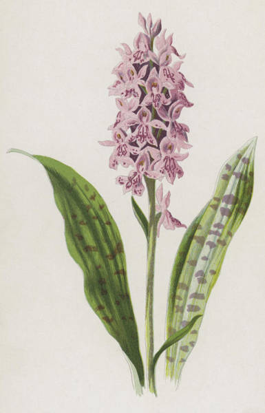 Pink Drawing - Spotted Orchis by Frederick Edward Hulme