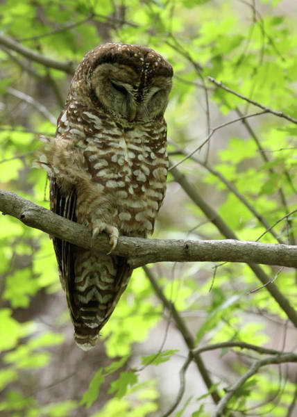 Photograph - Spotted Owl by Brian Magnier