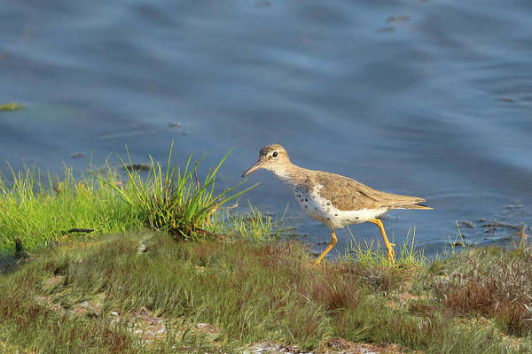 Sandpiper Photograph - Spotted Sandpiper by Donna Kennedy
