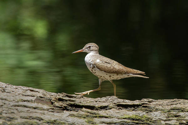 Photograph - Spotted Sandpiper by Paul Rebmann