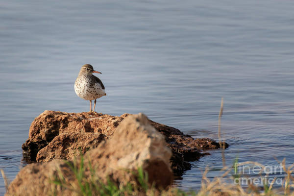 Photograph - Spotted Sandpiper by Richard Smith