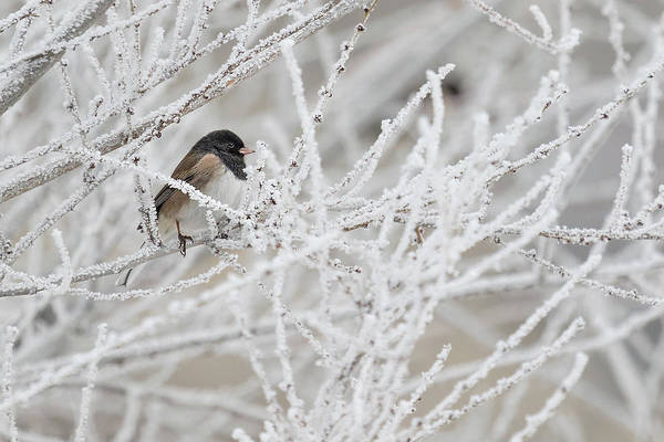 Photograph - Spotted Towhee In Winter by Boyce Fitzgerald