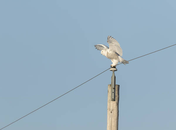 Photograph - Spread Wing Snowy Owl 2015-1 by Thomas Young