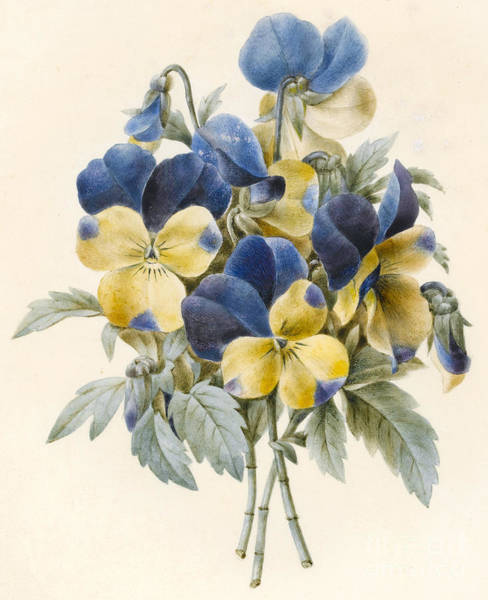 Wall Art - Painting - Sprig Of Pansies by Madame Benoit