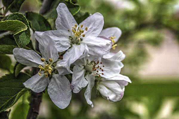 Photograph - Spring 2015 Apple Blossoms by Roger Passman