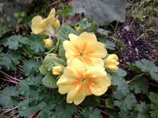 Photograph - Spring 2017 Yellow Flower Raindrops by Julia Woodman
