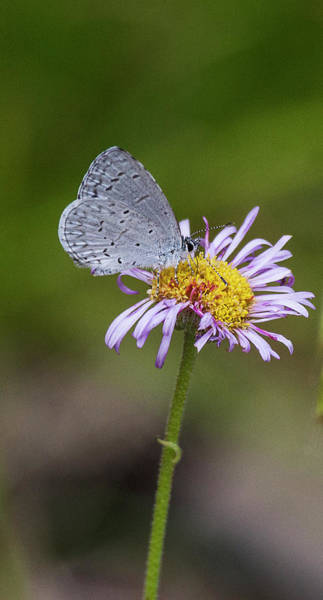 Wall Art - Photograph - Spring Azure  Butterfly On Flower by Ruth Jolly