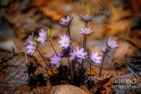Photograph - Spring Beauties by Mary Machare