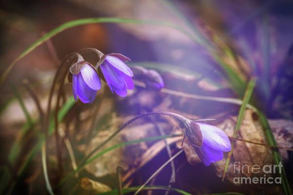 Anemone Photograph - Spring Beauty 3 by Veikko Suikkanen